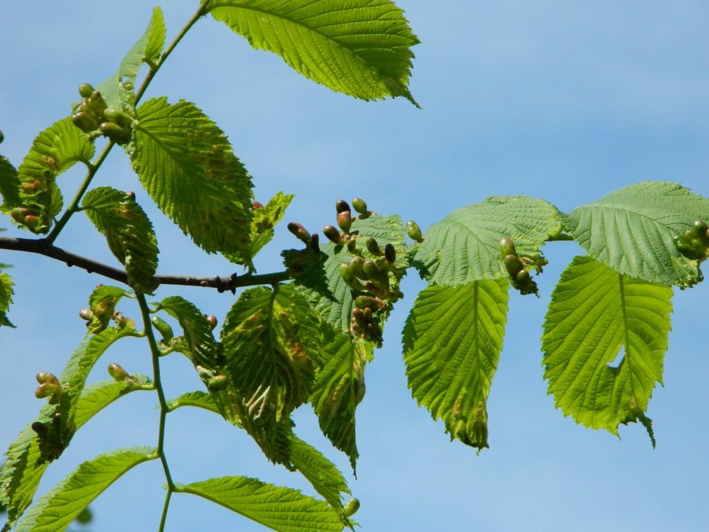 Gallen der Blattlaus Tetraneura ulmi auf Blättern der Berg-ULME