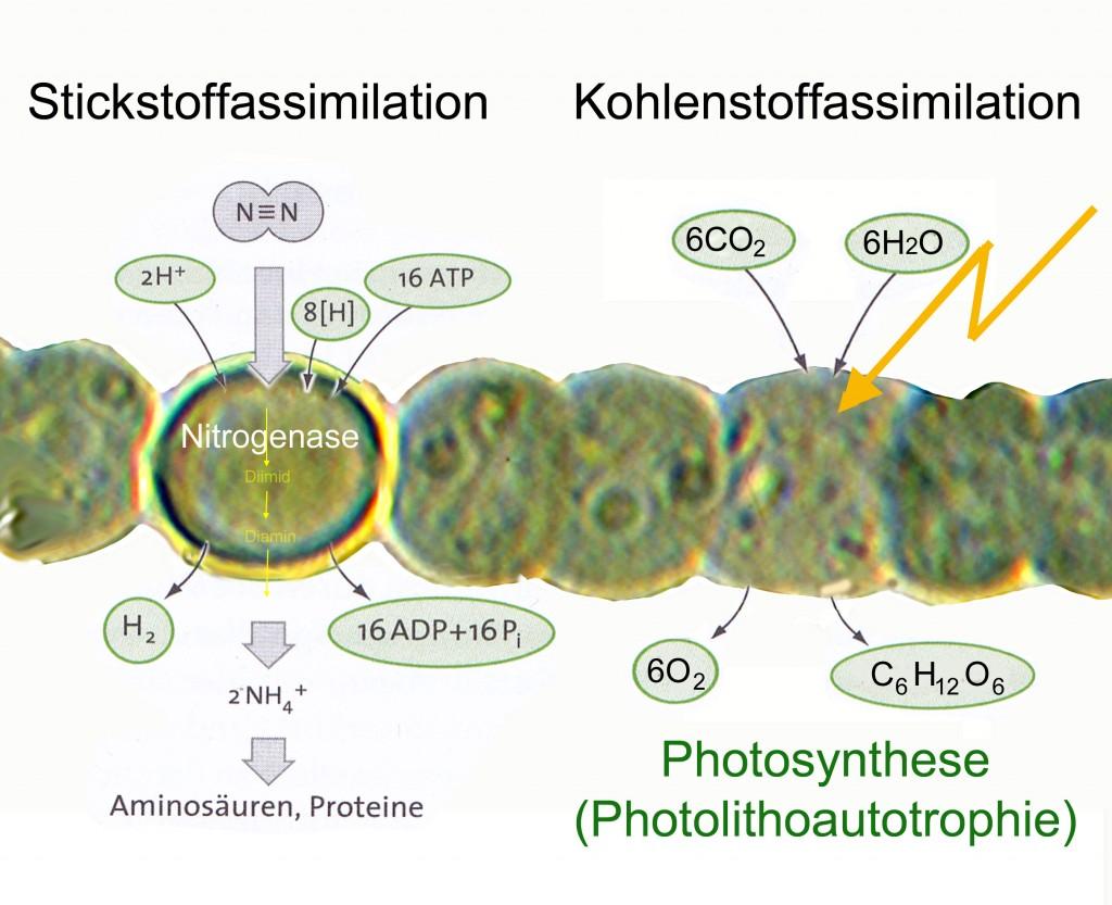 Stickstmoffassimilation und Kohlenstoffassimilation laufen parallel in verschiedenen Zellen ab. Dabei muss die Heterocystenzellwand für O2-Moleküle ziemlich dichtsein, denn die Nitrogenase ist extrem sauerstoffempindlich