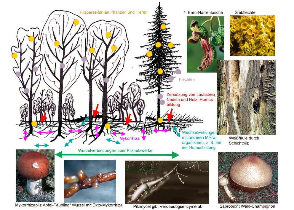 Funktionen der Pilze im Ökosystem Wald