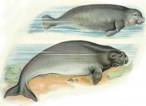 Karibik-Manati (oben) und Dugong (unten) aus Lambert's Tier-Atlas, 1913