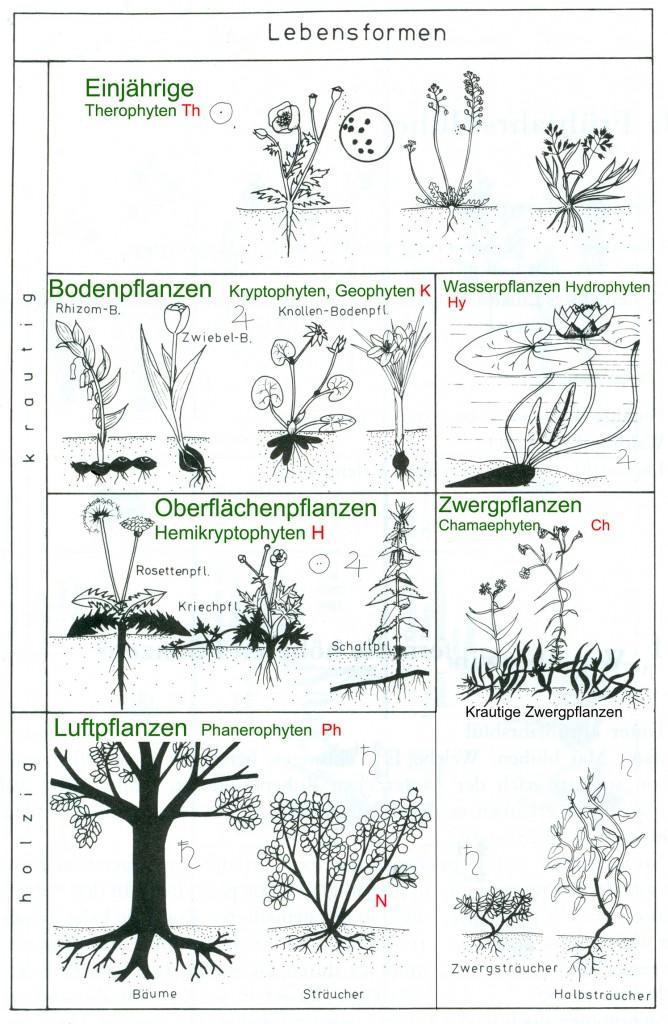 Lebensformen (=Überwinterungsformen) der Pflanzen