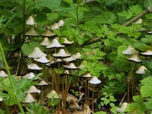 Früher Mürbling (Psathyrella spadiceogrisea), ein typischer Frühjahrspilz im Buchenwald am Häckler Weiher, nährmineralreicxher Wegrand mit Brennnesseln und Klebrigem Labkraut
