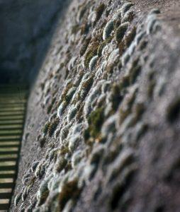 Mauer mit Kissenmoos Grimmia pulvinata