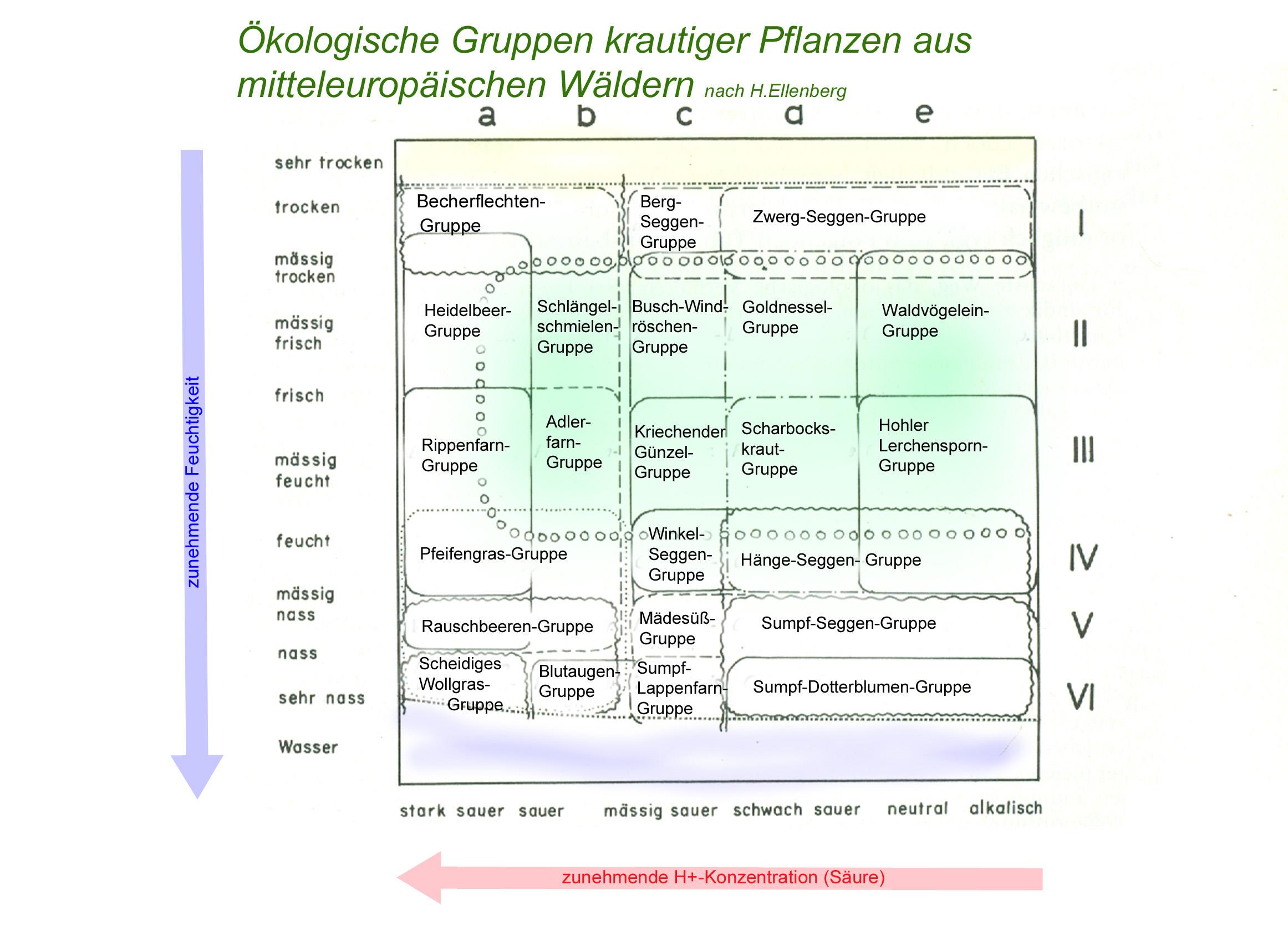 Ökologische Gruppen der Waldbodenpflanzen (nach H.Ellenberg)
