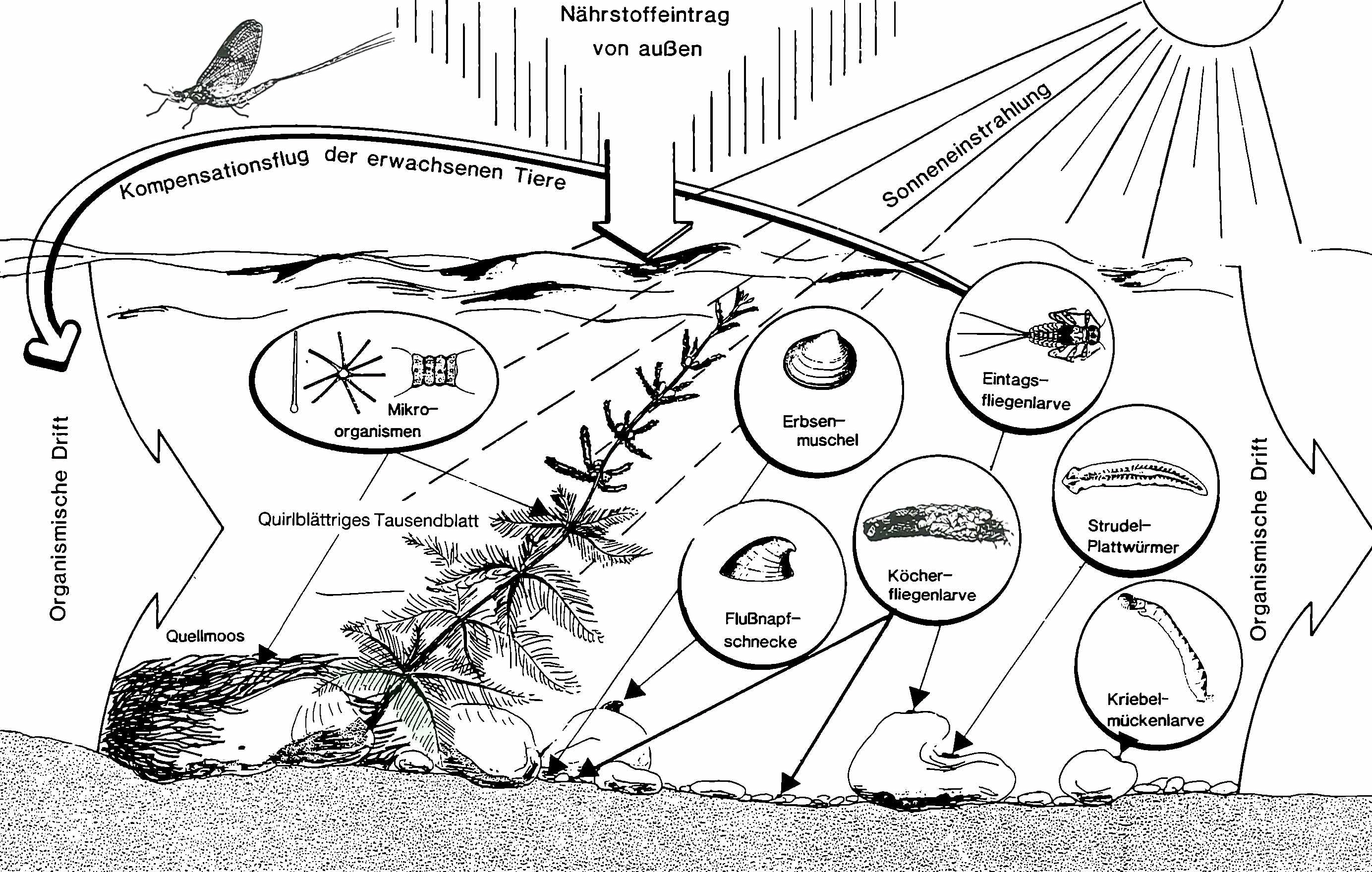 Stoff- und Nahrungsangebot in einem Fließgewässer (aus Dick, G.(1990): Fließgewässer Ökologie und Güte - verstehen und bestimmen. Hrsg.: Verein für Ökologie und Umweltforschung, Wien)