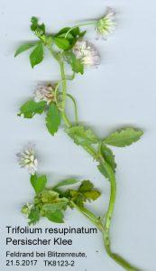 Persischer Klee - Trifolium resupinatum