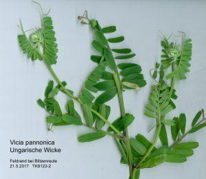 Ungarische Wicke - Vicia pannonica