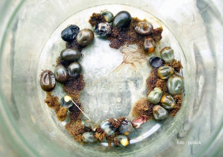 Nach der Blutmahlzeit suchen Zeckenweibchen eine geschützte Stelle und legen mehrere 1000 Eier ab, aus denen zunächst sechsbeinige Larven schlüpfen (im Bild vermutlich Ixodes rhizinus, der Holzbock; Foto: Kämmerer 2019)