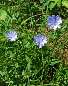 This image has an empty alt attribute; its file name is Cichorium-intybus-8.8.20-238x300.jpg
