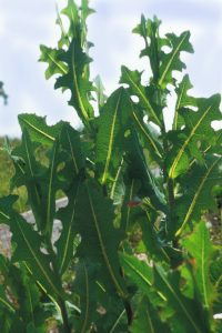 This image has an empty alt attribute; its file name is Lactuca-serriola-200x300.jpg
